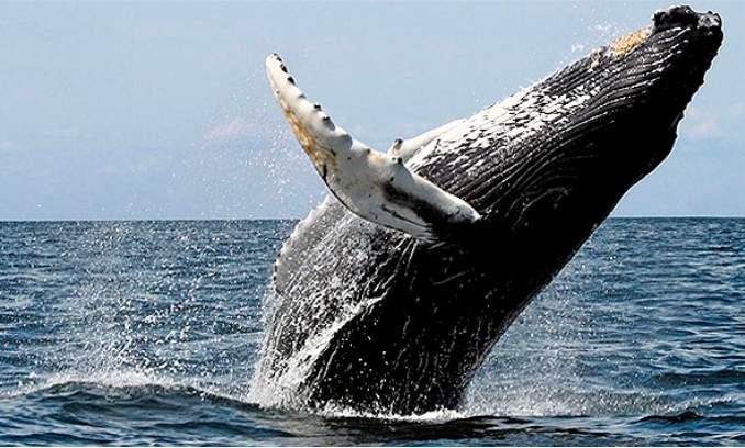 baleia jubarte - 03
